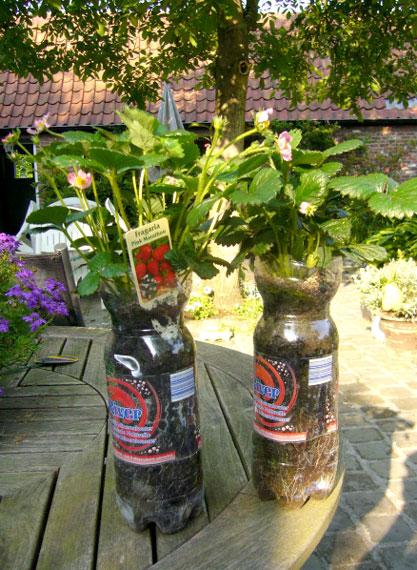 Culture de fraisiers dans des bouteiles en plastique