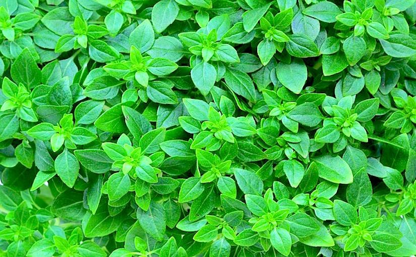 Basilic en pot